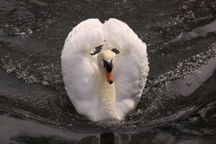 White swan on a lake in Ireland Stock Photography