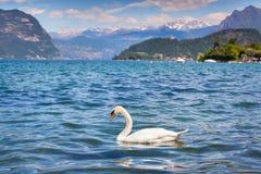 White swan on Lake Iseo Stock Image