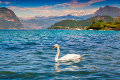 White swan on Lake Iseo Royalty Free Stock Photography