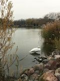 White swan on the lake in Kesthely royalty free stock image