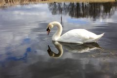 White swan on the lake, looks at his reflection in the water Stock Photography