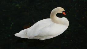 White swan on lake. Maggiore italy stock video