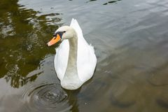 White swan in the lake. Morning lights. Romantic background Royalty Free Stock Images