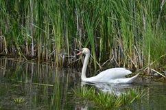 White Swan on the lake. White Swan on the lake near the village Stock Photos