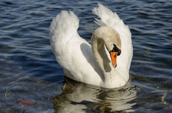 White swan on the lake Ontario near Toronto, Canada Stock Photography