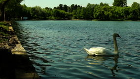White  swan on the lake, in park, cleans feathers.Swans feed in the water and on land. stock footage