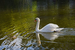 White swan on the lake. A peacefuly swimming white swan Stock Images