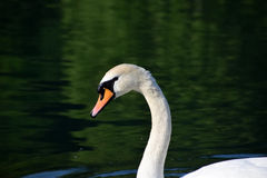 White swan on the lake. A peacefuly swimming white swan royalty free stock images