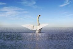 White swan on the lake Stock Photo