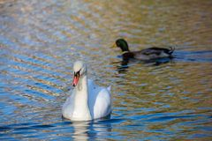 White Swan on the lake or in the pond. Blurred background. The duck in the background Stock Image