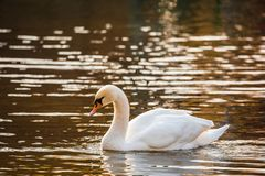 White Swan on the lake or in the pond. Blurred background. Golden sun reflections on the water Stock Photography