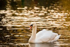 White Swan on the lake or in the pond. Blurred background. Golden sun reflections on the water Stock Photo