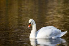 White Swan on the lake or in the pond. Blurred background Stock Photography