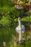 White swan on the lake Stock Photography