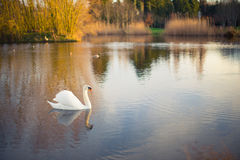 White swan on a lake with reflection. A white swan on a lake in sunlight, reflection Royalty Free Stock Images