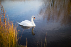 White swan on a lake with reflection Royalty Free Stock Photos