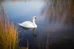 White swan on a lake with reflection. A white swan on a lake in sunlight, reflection Royalty Free Stock Photos