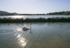 White swan in the lake. Romantic background. Beautiful swan. Cygnus. Romance of white swan with clear beautiful. White swan in the foggy lake at the dawn stock photo