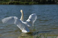 White swan on a lake with spread wings. royalty free stock photo