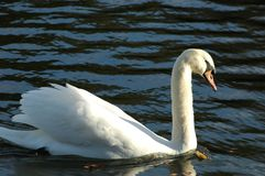 A white swan on the lake. In the sunny day. The surface of calm water provides a perfect blue background for this photo Royalty Free Stock Photo