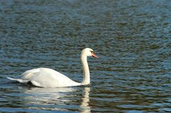 A white swan on the lake. In the sunny day. The surface of calm water provides a perfect blue background for this photo Stock Image
