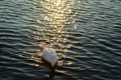 White swan on the lake. At sunset stock image