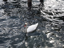 White swan in the lake Royalty Free Stock Photos