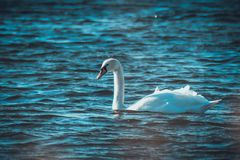 White swan on a lake royalty free stock photo