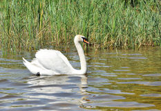 White swan on a lake Stock Photography