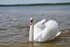 White swan on a lake Stock Photos