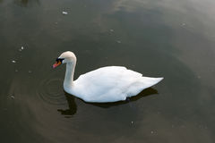 White swan in Lake Stock Photo