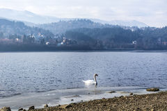 White Swan in a  Lake Royalty Free Stock Photos