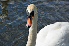White Swan on a Lake. White swan swimming on a lake in Germany Royalty Free Stock Image