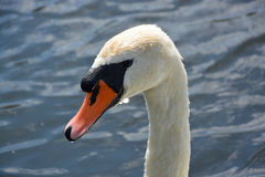 White Swan on a Lake. White swan swimming on a lake in Germany Stock Photo