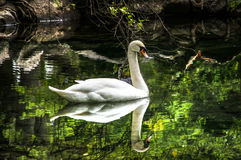 The white Swan  in the lake. The white Swan swimming in the lake.Sunny day Royalty Free Stock Photos
