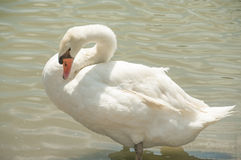 White swan in lake. Stock Images