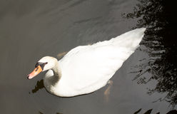 White swan in the lake Stock Photo