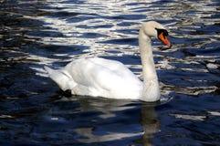 White swan on lake water. White swan on the blue lake water royalty free stock photo