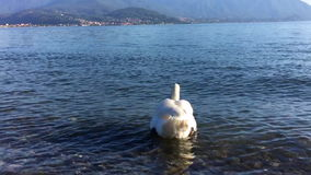 White Swan in the lake water Stock Image