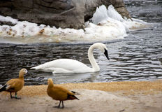 White Swan on the lake in winter. Stock Photography