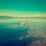 White Swan. On the Lake Zuger, Instagram effect Stock Photo