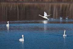 White Swan Landing Among Friends Royalty Free Stock Image