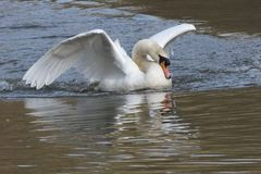 White swan landing royalty free stock images