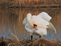 White swan, Lithuania Royalty Free Stock Images