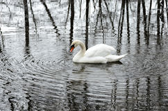 White swan live in solitude in a winter park. Solitude abstract Stock Photography