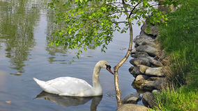 White swan. A lone white swan on the pond Stock Image