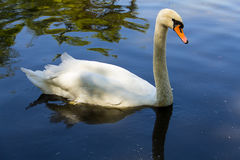 White swan with long neck floating on the surface of water. Close-up Stock Images