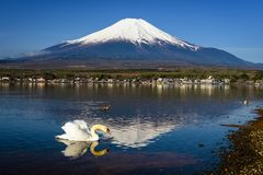 White swan look for food with mount Fuji. White swan looking for food and floating on Yamanaka lake with Mountain Fuji view, Yamanashi, Japan. Here, 1 of 5 Mt royalty free stock photography