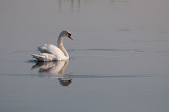 White swan looking back on the lake's surface Royalty Free Stock Photography