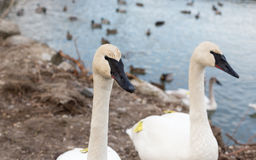 White swan looking at the camera. White swan looking suspicious at the camera Stock Photos